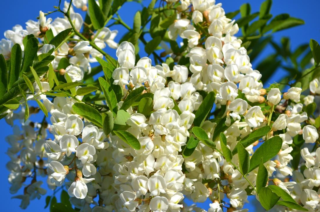flori-de-salcam-pentru-sanatate